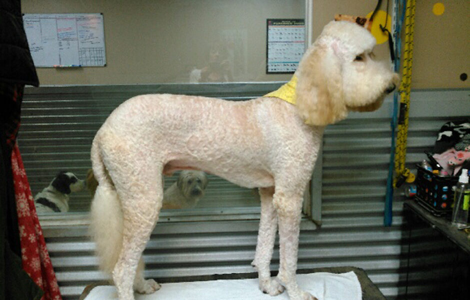 poodle_groomed